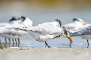 Royal tern (Thalasseus maximus) having a scratch on Fort De Soto County Park Beach, Florida