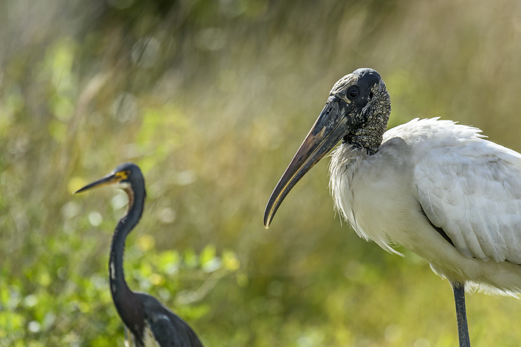 Wood-Stork-(Mycteria-americana)-Shark-Valley-Evergldes-National-Park-RKing-15-003515-vv