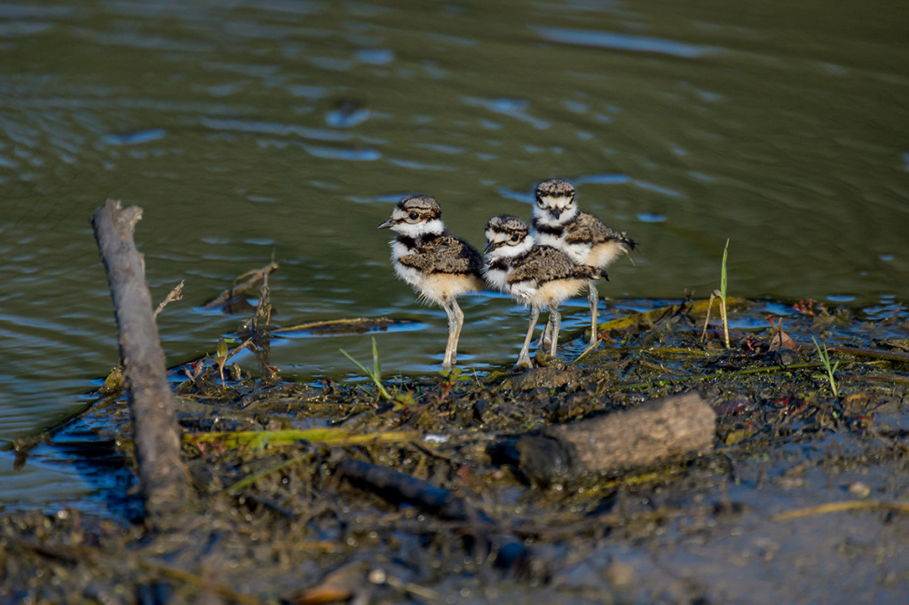 Killdeer (Charadrius vociferos) chicks out of the nest