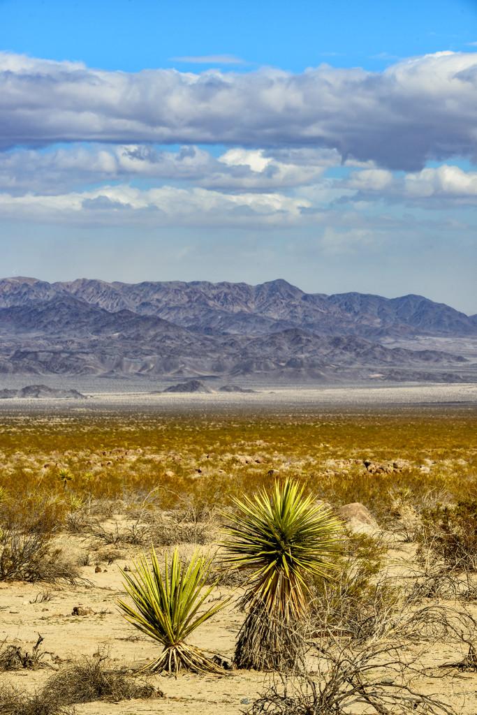 Mojave Yuccas