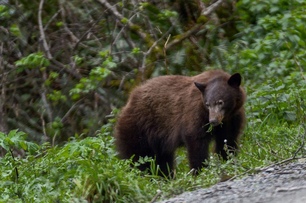 Brown bear, Klamath, CA
