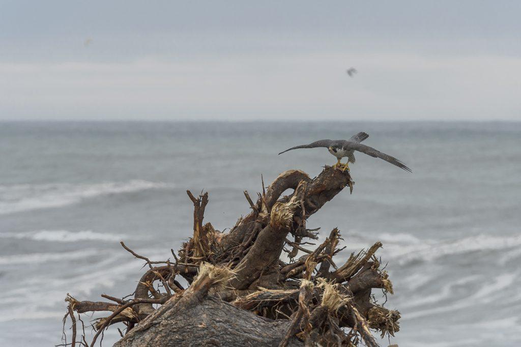 Peregrin Falcon (Falco peregrines) leaves his driftwood perch, Klamath River Estuary, CA