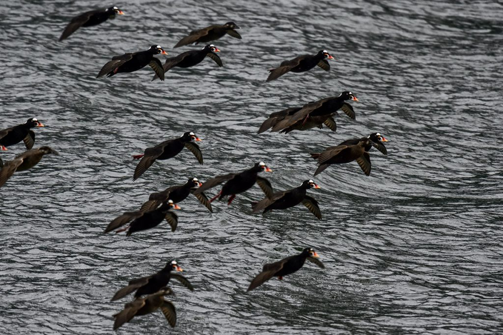 Surf Scoters flying in to the feeding frenzy during migration