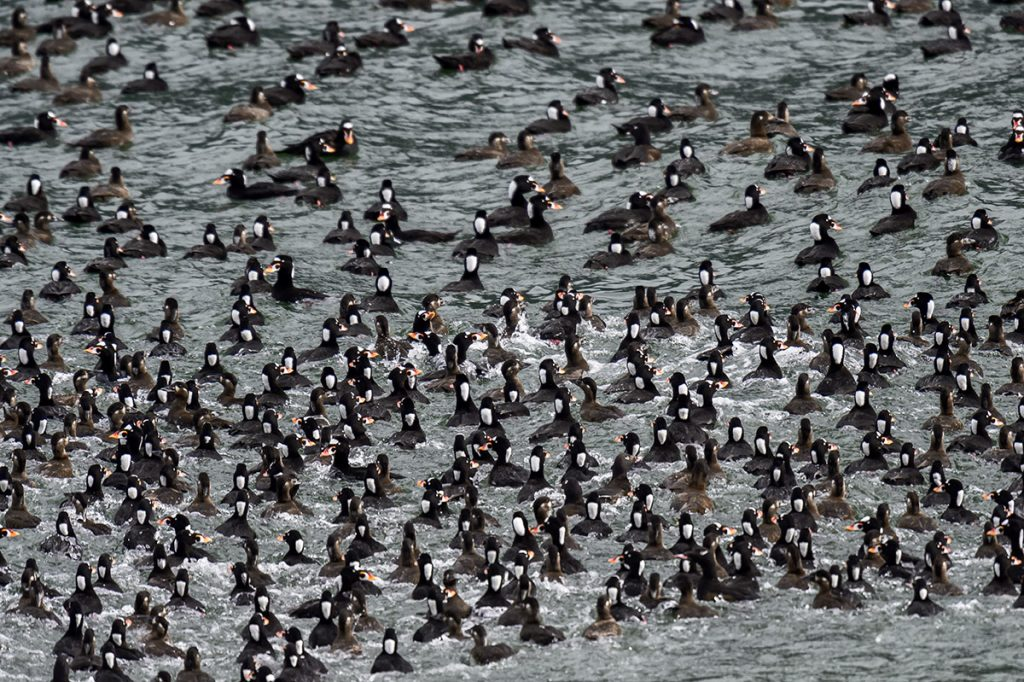 Surf Scoters, Black Scoters and White-winged Scoters in a feeding frenzy