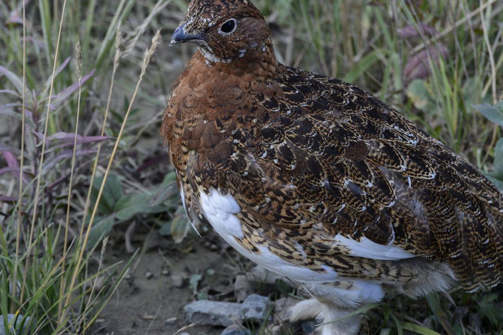 Willow Ptarmigan, The Alaska State Bird